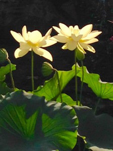 2 white water lilies